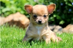 Picture of Landon - Chihuahua Male