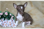 Picture of Rosco - Chihuahua Male
