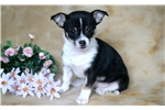 Picture of Rosie - Chihuahua Female