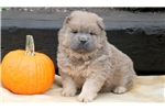 Picture of Misty - Chow Chow Female