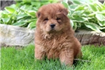 Picture of Almond - Chow Chow Female
