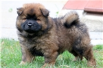 Picture of Twinkles - Chow Chow Male