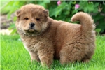 Picture of Lollipop - Chow Chow Male