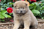 Picture of Petey - Chow Chow Male