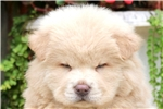 Picture of Starlight - Chow Chow Male