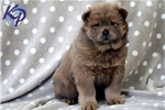 Picture of Georgie - Chow Chow Male