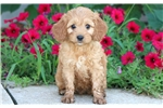Picture of Timmy - Cockapoo Male