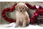 Picture of Patsy - Cockapoo Female