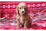 Picture of Spike - Cockapoo Male