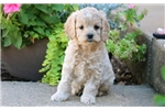 Zoey - Cockapoo Female | Puppy at 9 weeks of age for sale