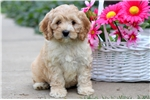 Picture of Laney - Cockapoo Female