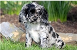 Cocker Spaniel for sale