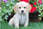 Picture of Sport - Cocker Spaniel Mix Male