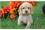 Picture of Buffy - Cocker Spaniel Female
