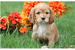 Picture of Bubbles - Cocker Spaniel Female