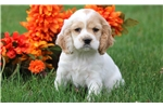 Picture of Buster - Cocker Spaniel Male