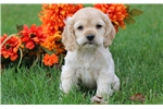 Picture of Brittany - Cocker Spaniel Female