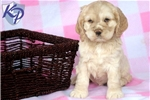 Picture of Willow - Cocker Spaniel Female
