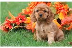 Picture of Farrah - Cocker Spaniel Female