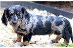 Picture of Toby - Mini Dachshund Male