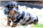 Picture of Teddy - Mini Dachshund Male