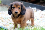 Picture of Theo - Mini Dachshund Male