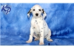 Picture of Smokey - Dalmatian Male