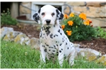 Picture of Rolly - Dalmation Male