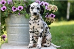 Picture of Jewels - Dalmation Female
