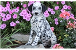 Buckwheat - Dalmatian Male | Puppy at 12 weeks of age for sale