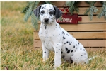Picture of Buddy - Dalmatian Male
