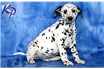 Picture of Freckles - Dalmatian Male