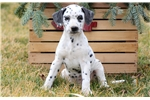 Picture of Blossom - Dalmatian Female