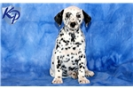 Picture of Puddles - Dalmatian Male
