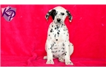 Picture of Perdita - Dalmatian Female