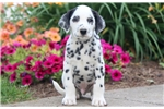 Picture of Stanley - Dalmatian Male
