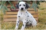 Picture of Buzz - Dalmatian Male