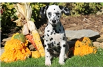 Tinkerbell - Dalmatian Female | Puppy at 12 weeks of age for sale