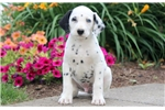 Picture of Spot - Dalmatian Male