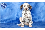 Picture of Rolly - Dalmatian Male