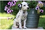 Dalmatian for sale