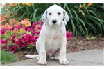 Picture of Spike - Dalmatian Male
