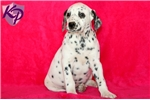 Picture of Dot - Dalmatian Female