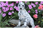 Picture of Bart - Dalmatian Male