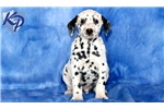 Picture of Pepper - Dalmatian Male