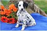 Picture of Marty - Dalmatian Male