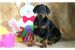 Picture of Lathan - Doberman Pinscher Male