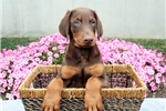Scotty - Doberman Pinscher Male | Puppy at 9 weeks of age for sale