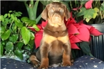 Picture of Captain - Doberman Pinscher Male