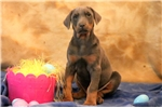 Picture of Henry - Doberman Pinscher Male